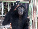 Siamang Diserahkan Warga ke BBKSDA Riau