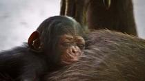 Setelah 4 Dekade, Queensland Akhirnya Miliki Bayi Simpanse Pertama