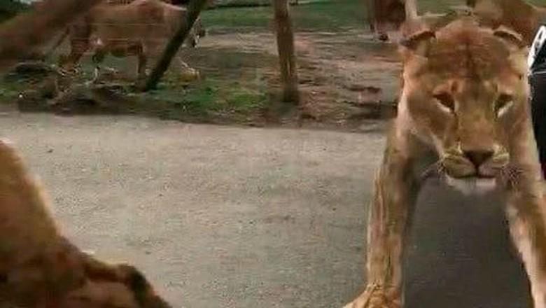 11 Singa Ditemukan Mati di Taman Nasional Uganda, Diduga Diracun