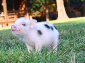 Tak Bisa Rawat Babi Peliharaan yang Diadopsi, Pasangan Ini Malah Memasaknya