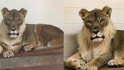 Singa Betina di Oklahoma Tumbuh Surai, Bikin Geger Pakar Zoologi