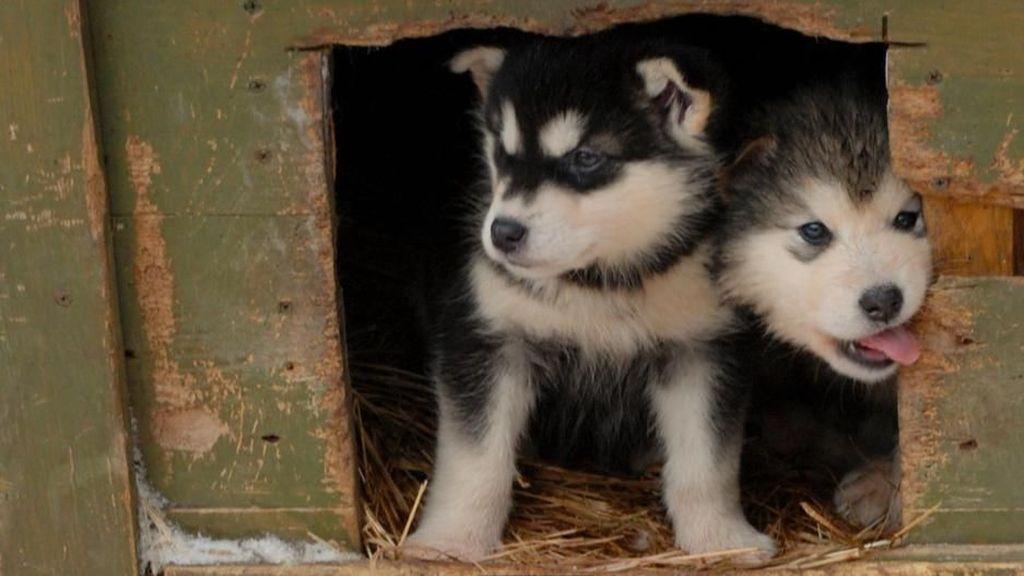 Anjing-anjing Lucu Ini Pembuka Jalur Es di Kanada