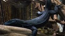 Ini Dia Black Dragon, Saudara Komodo yang Bikin Heboh di Medsos