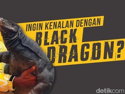 Viral Pria Gendong Black Dragon, Ini Bedanya dengan Komodo