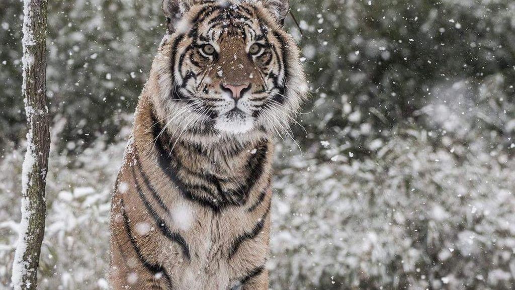 Potret Harimau Sumatera Saat Salju Selimuti London