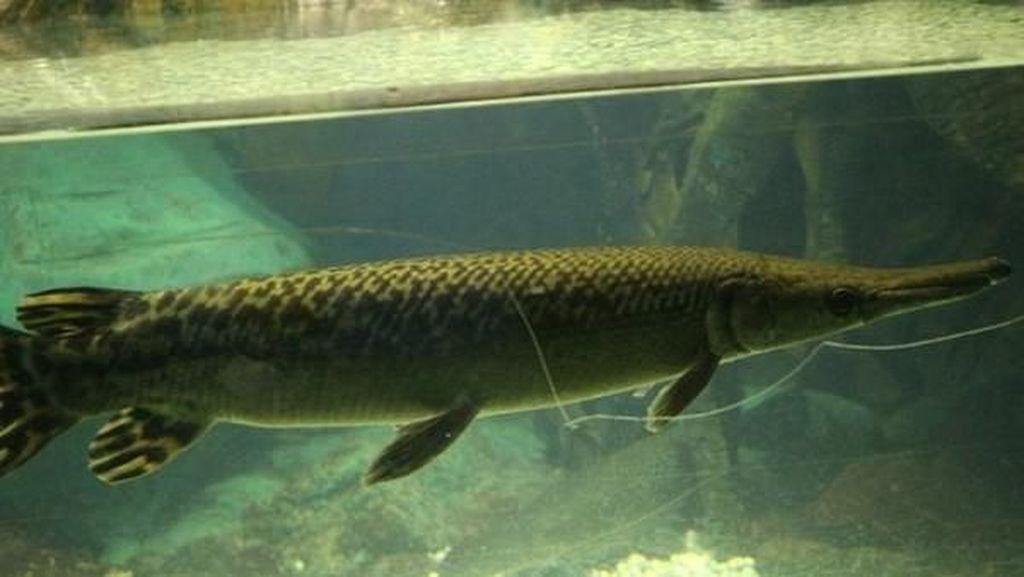 Liburan Seru Minggu Ini, Melihat Ikan Buaya di TMII