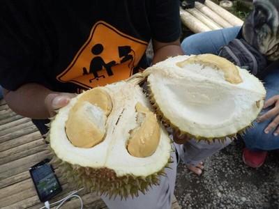 Sensasi Makan Durian Langsung  di Bawah Pohon, Mau?