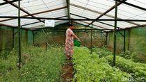 Obat Herbal Made In Kampung Brenjonk Jadi Langganan Pejabat