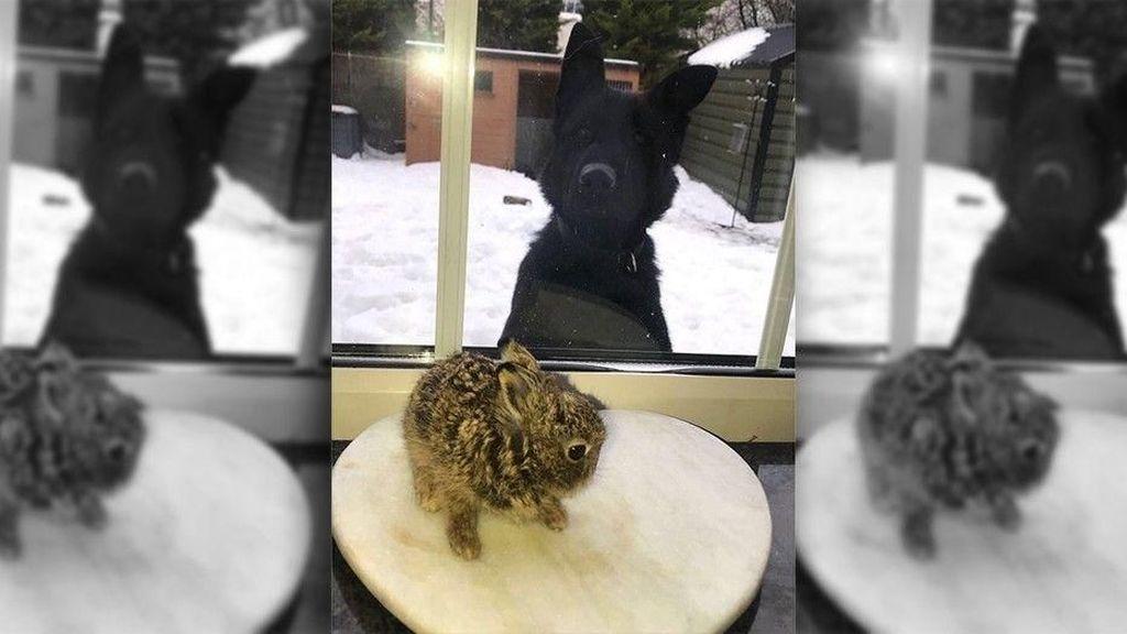 Badai Salju di Bandara Irlandia, Petugas Selamatkan Bayi Kelinci