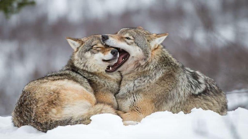 Foto: Serigala-serigala Terakhir