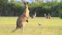 Kanguru di Bonbin China Mati Usai Dilempari Batu oleh Pengunjung