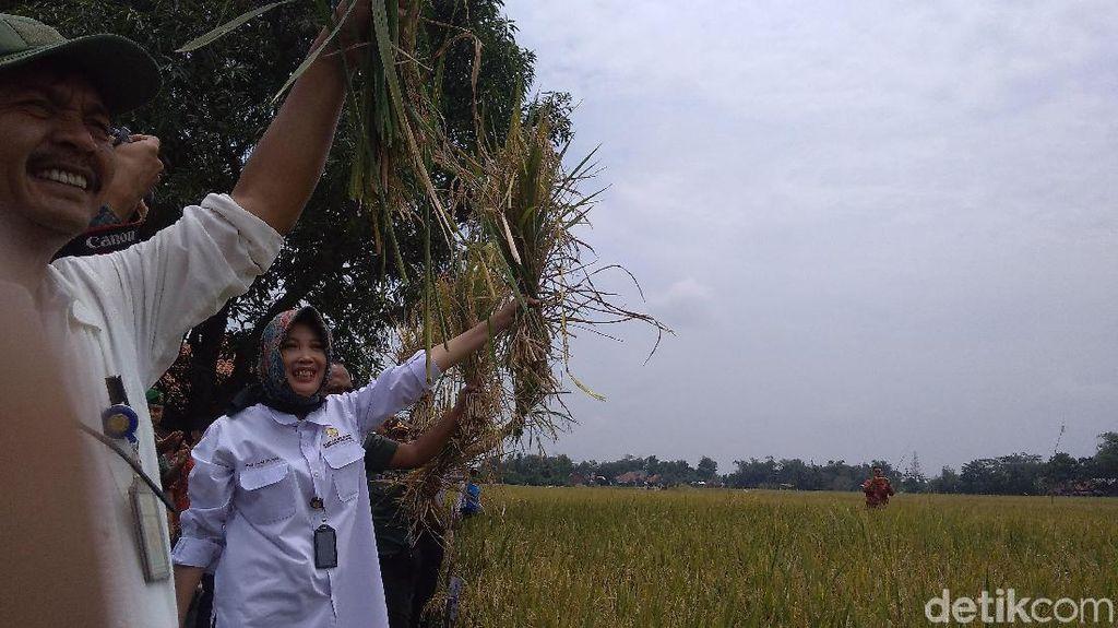 Panen di Kabupaten Cirebon Berpotensi Hasilkan 75.600 Ton Beras