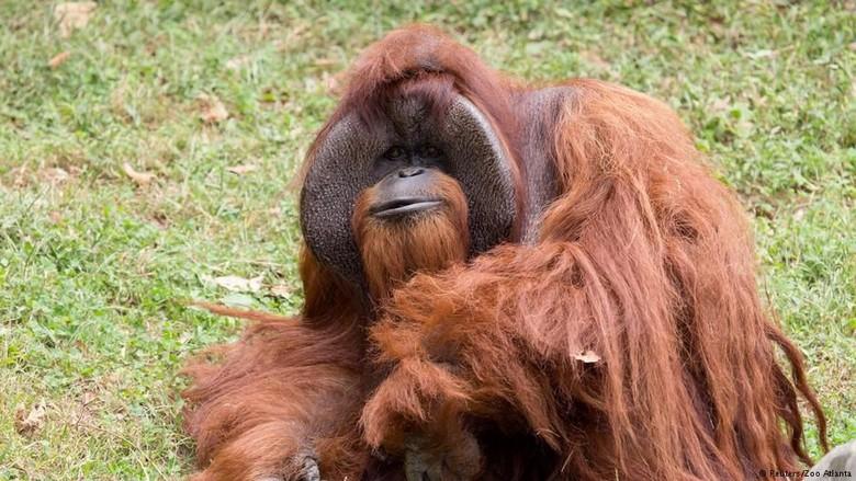 Orangutan Merokok, Kebun Binatang Bandung Kembali Jadi Sorotan Dunia