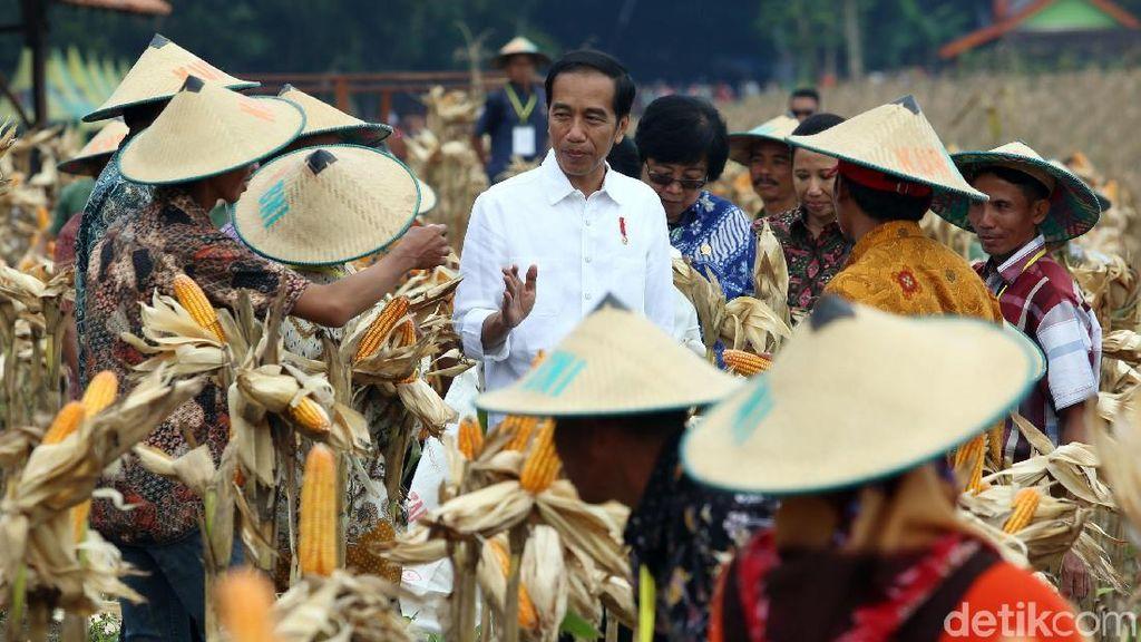 Panen Raya Jagung di Tuban, Jokowi Semringah