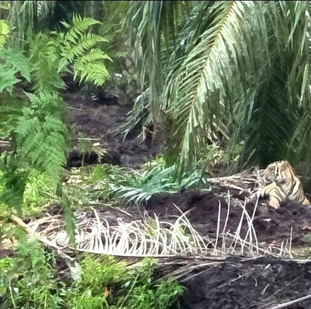 Setelah Ditangkap, Harimau Bonita Dievakuasi Lewat Sungai