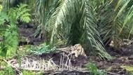 Usai Ditembak Bius, Harimau Bonita Menghilang