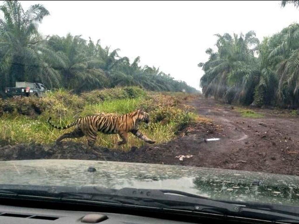 Harimau Bonita Kembali ke Rumah, Bagaimana Kabar Perburuan?