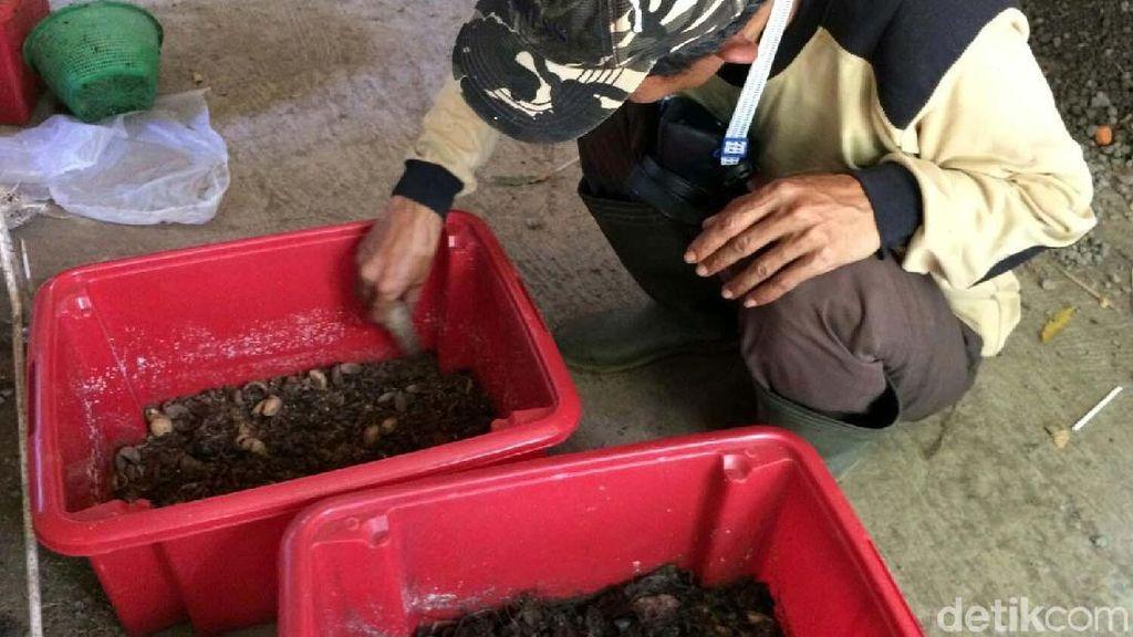 Warga Ciamis Bikin Pakan Ternak Berbahan Telur Lalat Tentara Hitam