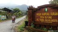 Yuk... Berburu Durian Khas Mojokerto di Kampung Duyung