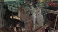 Kucing Liar yang Ditangkap Bisa Diadopsi Usai Disterilkan