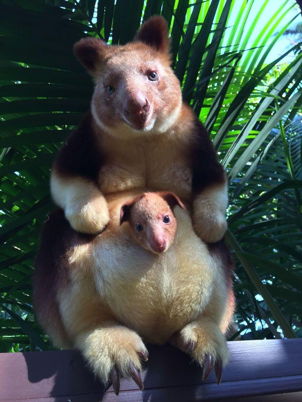 Kangguru Pohon, jenis ini merupakan makropod yang beradaptasi dengan lingkungan di atas pohon. Mereka mendiami hutan hujan di Australia dan Papua, Queensland, dan pulau-pulau terdekat.(Foto: Boredpanda)