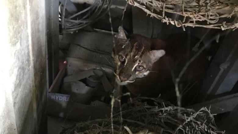 Dikira Anak Harimau, Kucing Emas 3 Kali Lebih Besar dari Kucing Biasa