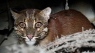 Kucing Emas, Si Misterius Terancam Punah yang Bikin Heboh di Aceh