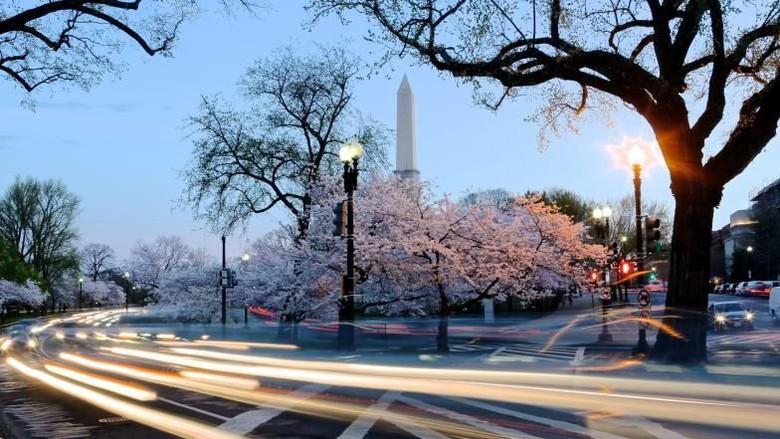 Foto: Cantiknya sakura di Washington DC (Courtesy Neal Piper/CNN)