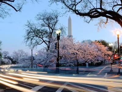 Bunga Sakura Jepang Pindah ke Washington