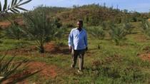 Kebun Kurma Kini Hijaukan Aceh, Siap Panen Mei 2018