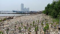 Lautan Sampah di Teluk Jakarta Tempat Pembibitan Bandeng