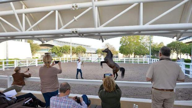 Para kuda yang sedang berlatih (Al Shaqab)