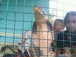 King Cobra Sepanjang 2 Meter Gegerkan Warga Gorontalo