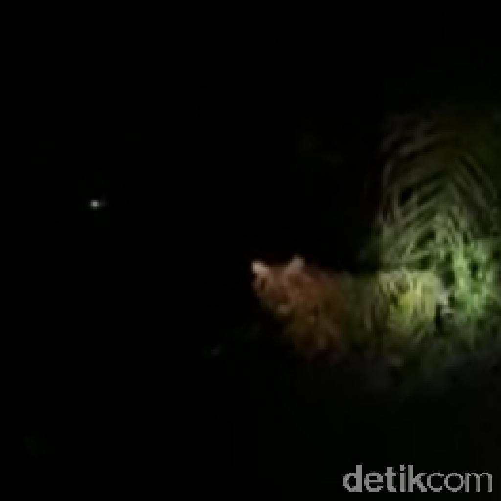 Momen Harimau Bonita Muncul Lagi dari Semak-semak