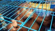 Anak Orangutan Alami Gizi Buruk Diserahkan Warga Aceh ke BKSDA