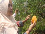 Sensasi Memetik Belimbing Madu Langsung dari Pohonnya di Sidoarjo