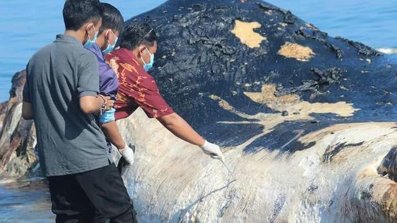 Paus Sperma 15 Meter Terdampar di Pantai Buleleng Bali