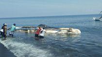 Bangkai Paus Sperma yang Terdampar di Buleleng Ditarik ke Laut