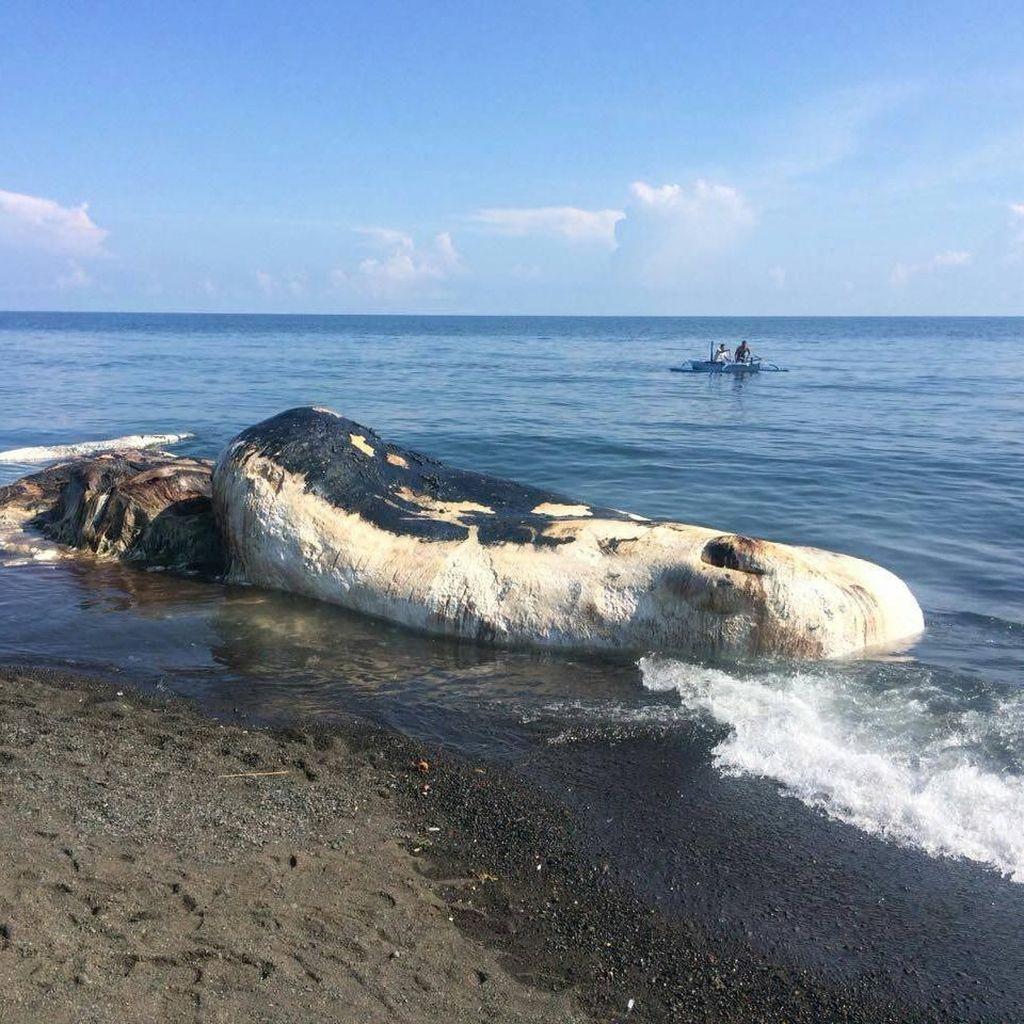 Foto: Ini Paus Sperma 15 Meter yang Mati Terdampar di Buleleng Bali