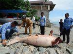 Foto: 2 Kali Duyung Mati Terdampar di Sulteng