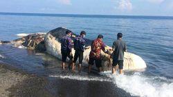 Pesan dari Alam di Balik Terdamparnya Bangkai Paus di Bali