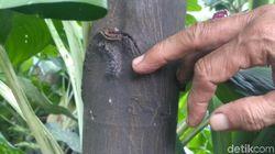 Teror Ulat Bulu di Surabaya, Nempel di Pohon dan Masuk Kamar