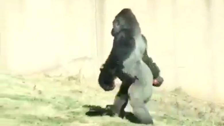 Tak Mau Tangannya Kotor, Gorila ini Berjalan Seperti Manusia