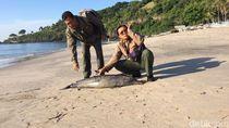 Viral Lumba-lumba Mati Tercabik di Karangasem, Ini Hasil Temuannya