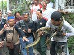 Heboh Ular Piton Nyemplung ke Dalam Sumur Warga di Semarang