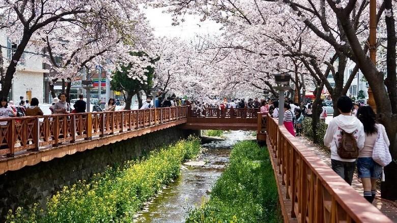 Foto: Sakura bermekaran di Jinhae, Changwon, Korea Selatan (dok KTO)