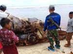 Penampakan Paus Sperma Mati Terdampar di Pantai Bengkulu