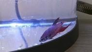 Foto: Begini Perubahan Drastis Ikan Cupang yang Sempat Sekarat