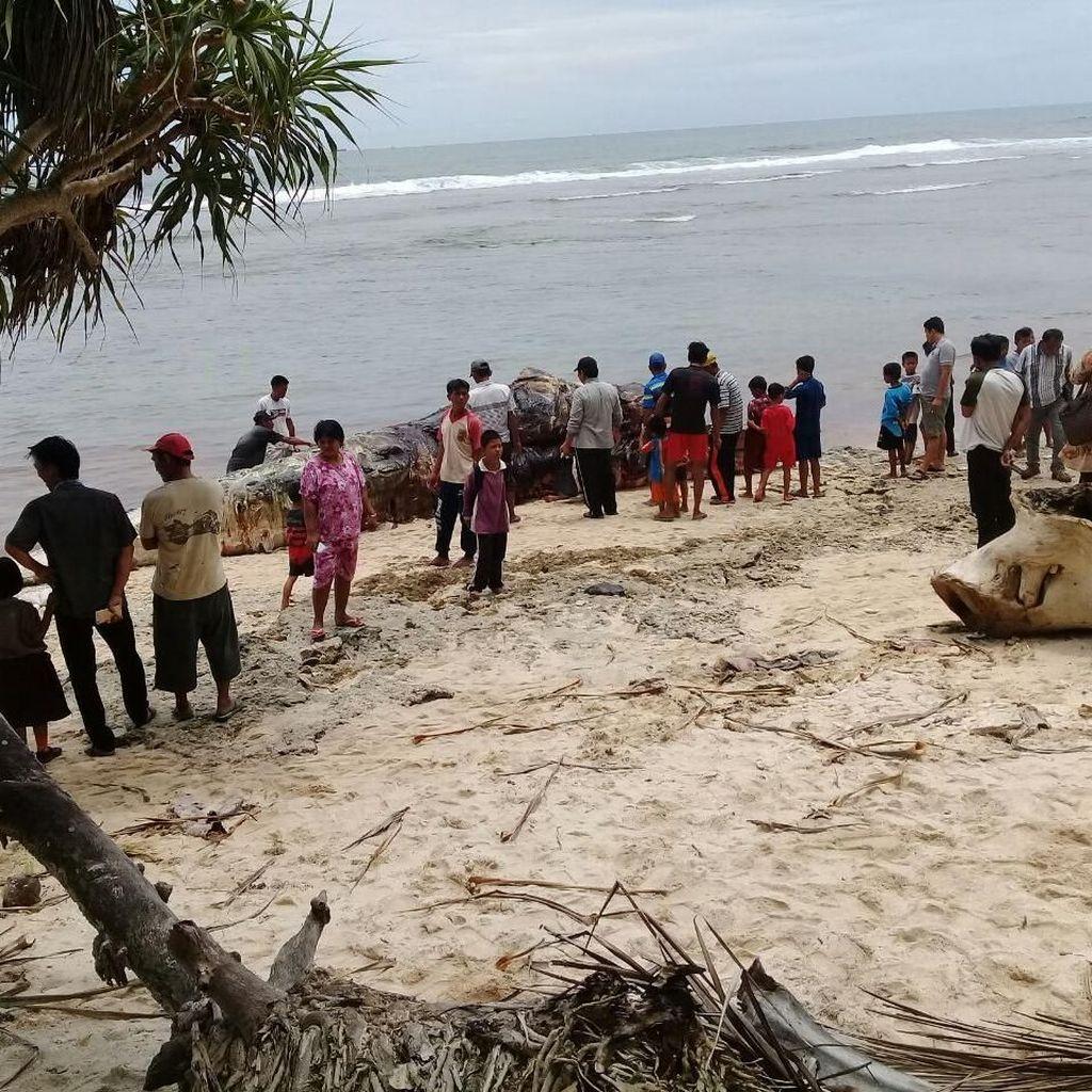 Paus Sperma Sepanjang 12,5 Meter Terdampar di Pantai Bengkulu