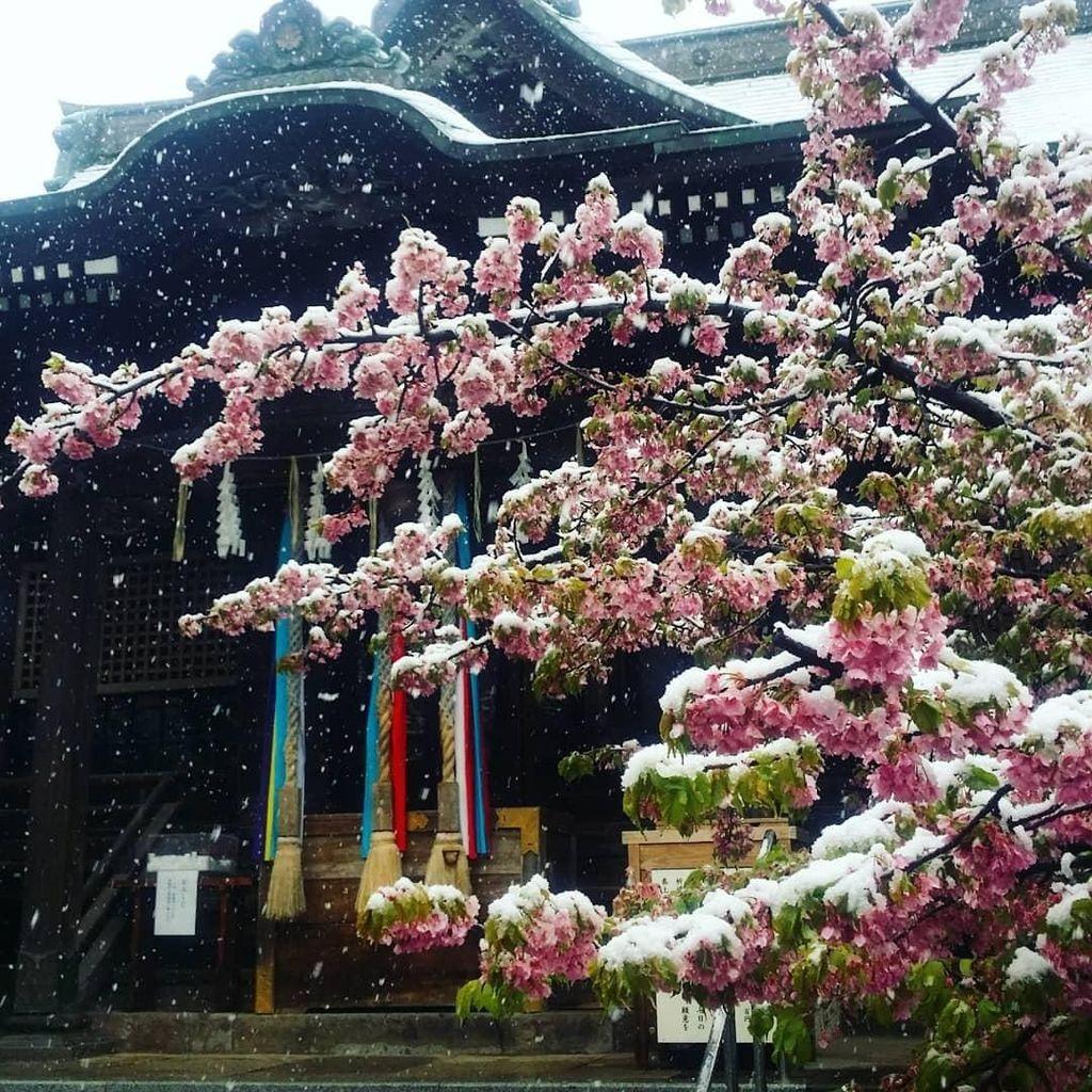 Momen Langka di Tokyo, Sakura Mekar Saat Bersalju